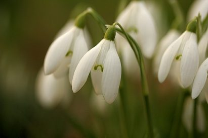 Snowdrop Therapy